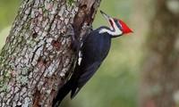 1001 thắc mắc: Chim gõ kiến bổ tới tấp vào cây mà sao không bị vỡ não?