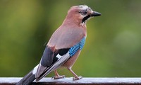 1001 thắc mắc: Vì sao chim không bạc lông khi già?