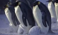 Chim cánh cụt sống chủ yếu tại khu vực Nam bán cầu.