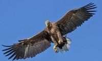 """Đại bàng loài chim săn mồi cỡ lớn được mệnh danh là """"chúa tể bầu trời""""."""