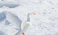 Chim cánh cụt, vịt, mòng biển… đứng suốt trên băng đá mà sao chân không bị tê cóng?