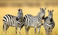 Sọc trắng đen giúp cho ngựa vằn chống lại bệnh tất và côn trùng.