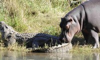 Hà mà tấn công cá sấu