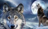1001 thắc mắc: Chó hóa sói thế nào, cầu tự sát của chó nằm ở đâu?