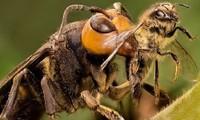 Ong mặt quỷ là một trong những loài ong độc nhất trên thế giới