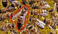 1001 thắc mắc: Tại sao ong thợ lại bị ong chúa tẩy não?