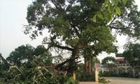 Tin mới vụ cây đa hơn 300 tuổi ở Nghệ An gãy đổ làm bốn học sinh bị thương