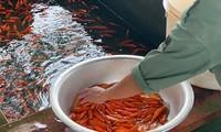 Cá chép đỏ lâu nay được dùng để cúng ông Công ông Táo, tuy nhiên một số người chuyển sang cá KOI