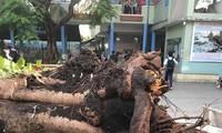 Cây phượng đổ đè học sinh ở TP HCM