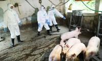 Hà Nội: Hầu hết các địa phương đã khống chế được dịch tả lợn Châu Phi