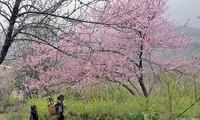 Hoa đào Tây Bắc (ảnh internet)