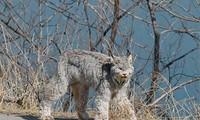 Tưởng chó cưng đi lạc, nhìn kỹ hóa ra là một trong tứ đại thần thú