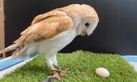 Cú đực đột nhiên 'chuyển giới', đẻ trứng khiến nhân viên hết hồn