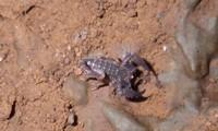 Loài bọ cạp núi lửa đầu tiên trên thế giới được ghi nhận tại Tây Nguyên.