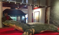 Cận cảnh cụ rùa Hồ Gươm vừa được trưng bày ở đền Ngọc Sơn