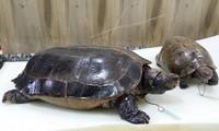 Thêm 2 cá thể rùa được xử lý theo phương pháp chế tác cụ rùa