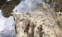 Loài cá lạ có chân mà người dân ghi nhận được ở Cao Bằng là loài cá cóc Quảng Tây. Ảnh: Hoàng Phúc
