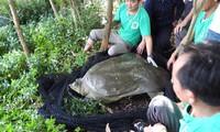 Cá thể rùa Hoàn Kiếm ở hồ Đồng Mô đã được bẫy bắt thành công và xác định giới tính.