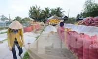Các địa phương ở Đồng bằng Sông Cửu Long cũng kiến nghị cho xuất khẩu gạo nhằm giúp doanh nghiệp thu mua lúa trong dân với giá tốt hơn. Ảnh: Cảnh Kỳ