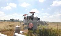 Thu hoạch lúa Đông Xuân tại ĐBSCL. Ảnh: Cảnh Kỳ