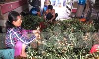Người dân huyện Xuyên Mộc, tỉnh Bà Rịa-Vũng Tàu lao đao vì nhẫn xuồng cơm vàng chín rụng đầy vườn, thương lái không đến mua.