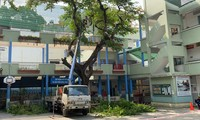 Vụ cây đổ khiến học sinh tử vong: Kiểm tra và xử lý cây phượng còn lại trong trường