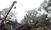 Lãnh đạo xã nói gì vụ lô gỗ sưa 'trăm tỷ' hai lần mở bán bất thành?