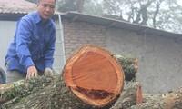 Lô gỗ sưa trăm tỷ ở Phụ Chính vẫn chưa thể bán đấu giá