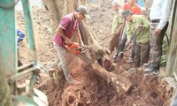 Người dân chặt hạ cây gỗ sưa 130 năm tuổi ở Phụ Chính