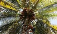 Leo cây hái dừa, người đàn ông bất ngờ đột quỵ