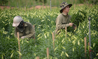 Nhộn nhịp cánh đồng hoa loa kèn đang thu hoạch ở Hà Nội