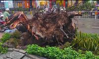 Cây xanh cao hơn 30m bật gốc, đè trúng người đi đường ở Sài Gòn