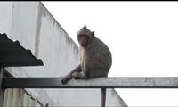 Bầy khỉ hoang náo loạn người dân Sài Gòn