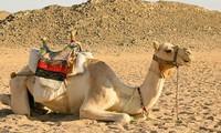 Lạc đà là một trong những loại động vật có khả năng thích nghi tốt môi trường trong sa mạc.