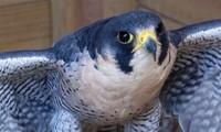 Sở hữu tốc độ lên đến 398 km/giờ, chim Cắt lớn chính là loài động vật nhanh nhất hành tinh