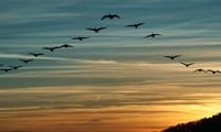 1001 thắc mắc: Sự thực có phải chim di cư là do chúng sợ lạnh?