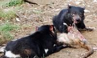 Dù có ăn nhiều bao nhiều thì Quỷ Tasmania vẫn có một thân hình hết sức cân đối.