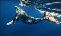 1001 thắc mắc: Vì sao cá voi xanh có thể bơi suốt 6 tháng mà không ăn?