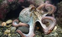 1001 thắc mắc: Vì sao nói bạch tuộc có khả năng ngụy trang hoàn hảo?
