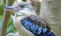 1001 thắc mắc: Loài chim nào hót như tiếng người cười?