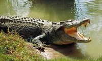 1001 thắc mắc: Vì sao có thể buộc mõm cá sấu dễ dàng?