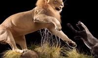1001 thắc mắc: Những động vật nào là 'sát thủ' khát máu bậc nhất hành tinh?