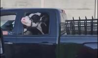 Chở bò trong khoang cabin của xe bán tải