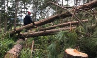 rừng thông bị cưa hạ la liệt