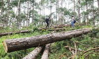rừng thông 30 năm tuổi bị cưa hạ ngổn ngang