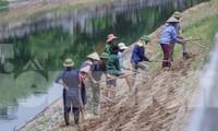 Phủ xanh bờ kè sông Tô Lịch bằng cỏ lá tre