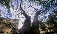 Nhiều cây sưa nghi bị đầu độc chỉ còn là cành củi khô và lá xác xơ