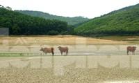 Điều chưa từng xảy ra ở hồ nước ngọt lớn nhất Quảng Ninh: Bò 'dạo chơi' giữa lòng hồ