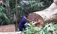 Nhiều thân gỗ khổng lồ bị đốn hạ xẻ sập cách địa điểm 12 thân gỗ dổi bị đốn hạ khoảng 1km