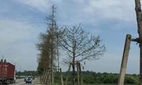 Hàng trăm cây xanh bị sâu ăn trụi.